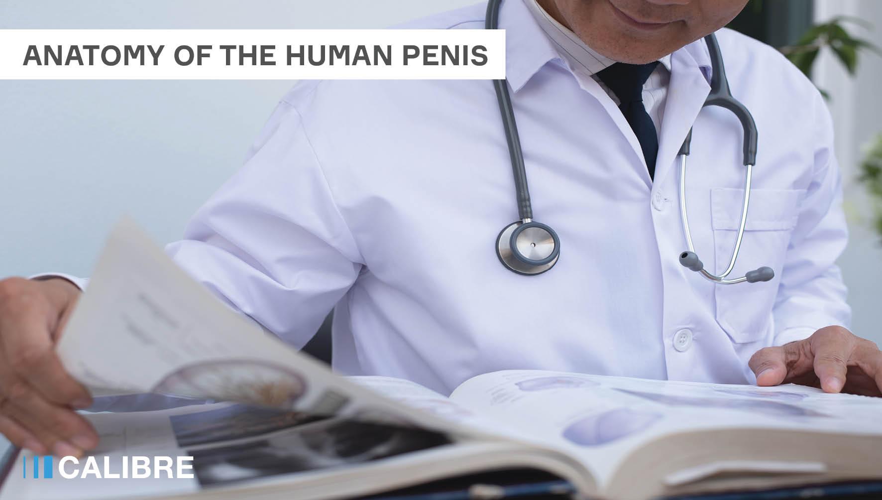 Anatomy of the human penis
